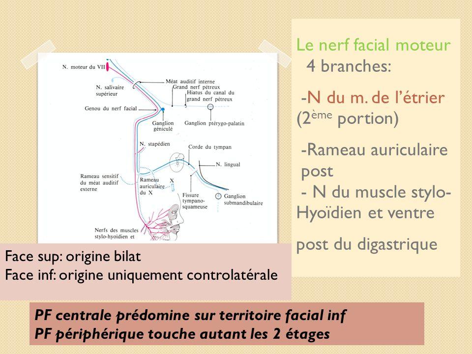 Le nerf facial moteur 4 branches: -N du m. de l'étrier (2ème portion)