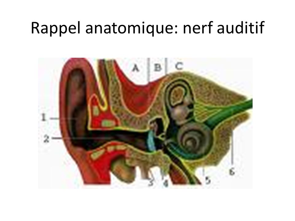Rappel anatomique: nerf auditif