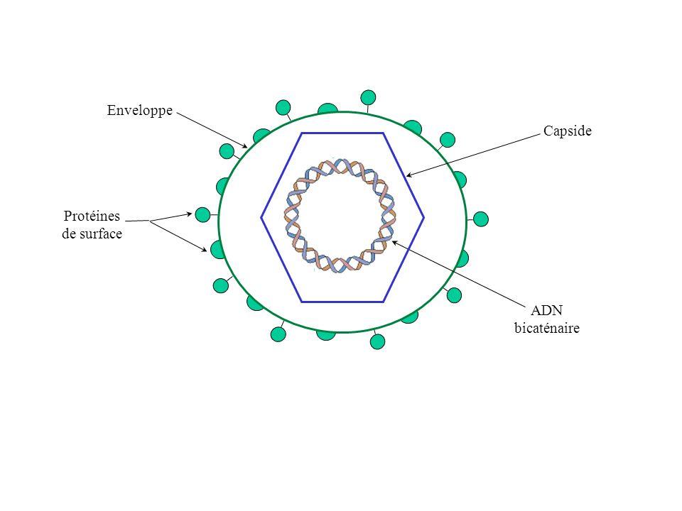 Protéines de surface Enveloppe Capside ADN bicaténaire