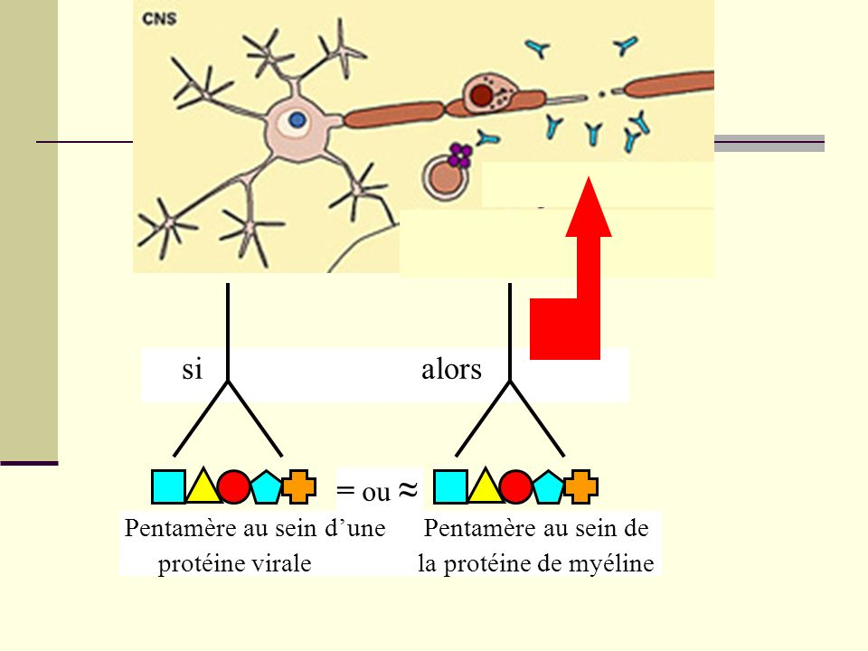 si alors = ou ≈ Pentamère au sein d'une Pentamère au sein de