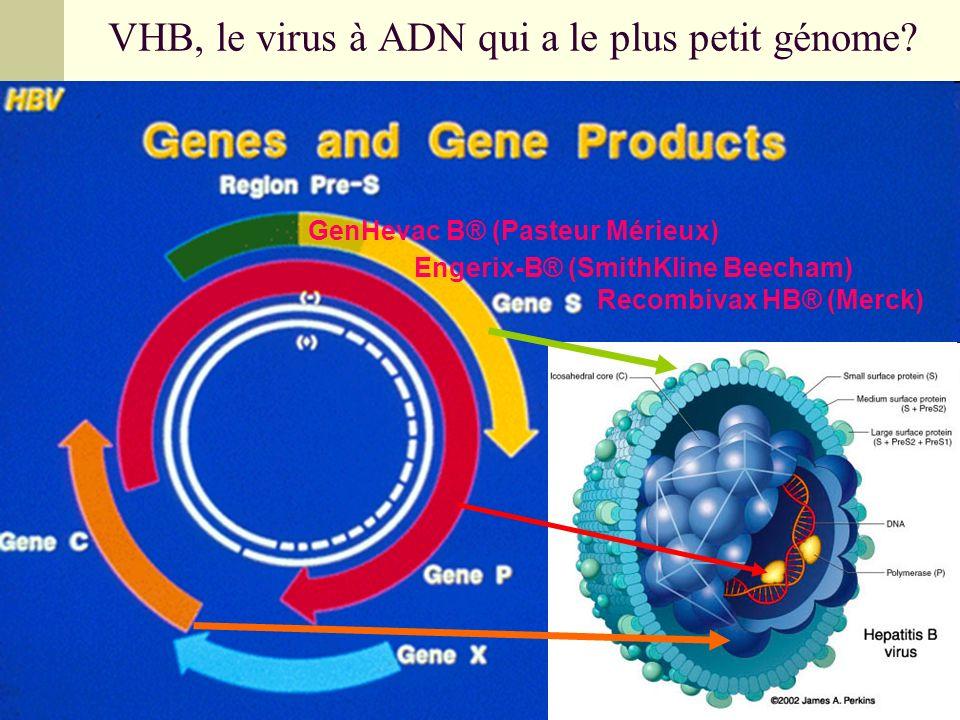 VHB, le virus à ADN qui a le plus petit génome