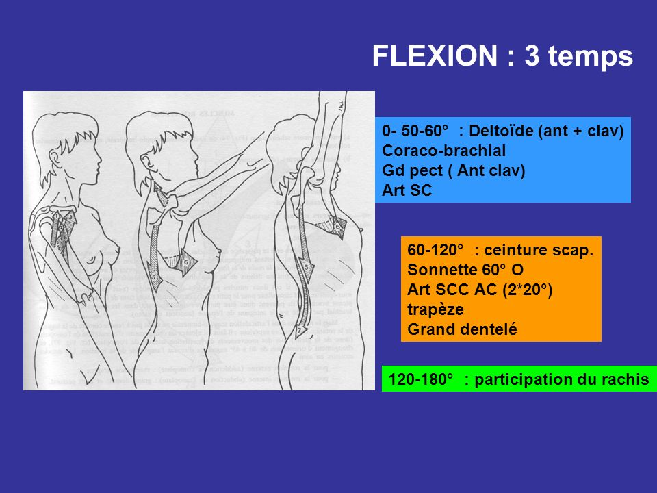FLEXION : 3 temps 0- 50-60° : Deltoïde (ant + clav) Coraco-brachial