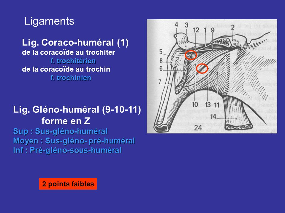 Ligaments Lig. Coraco-huméral (1) Lig. Gléno-huméral (9-10-11)