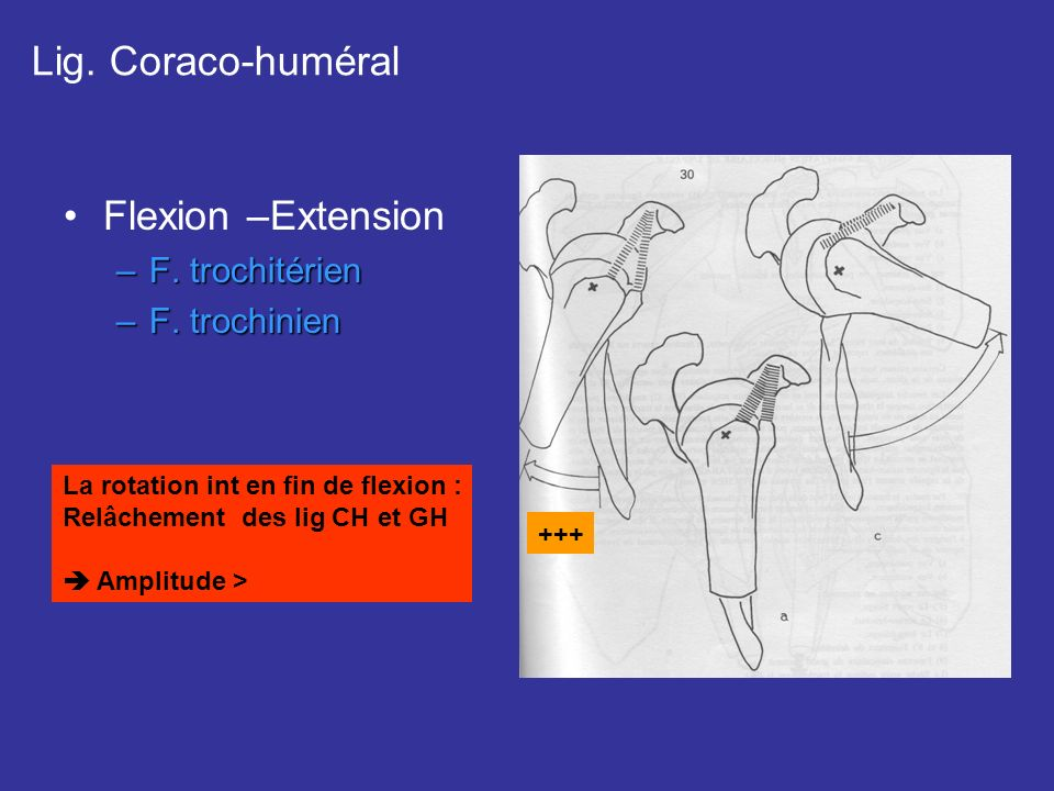 Lig. Coraco-huméral Flexion –Extension F. trochitérien F. trochinien