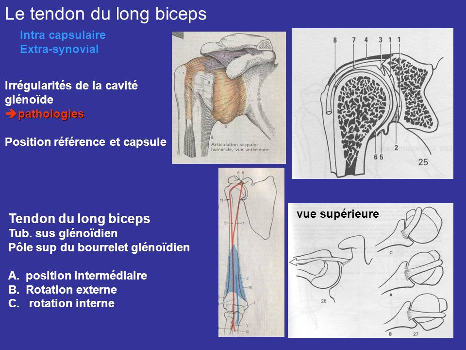 Le tendon du long biceps