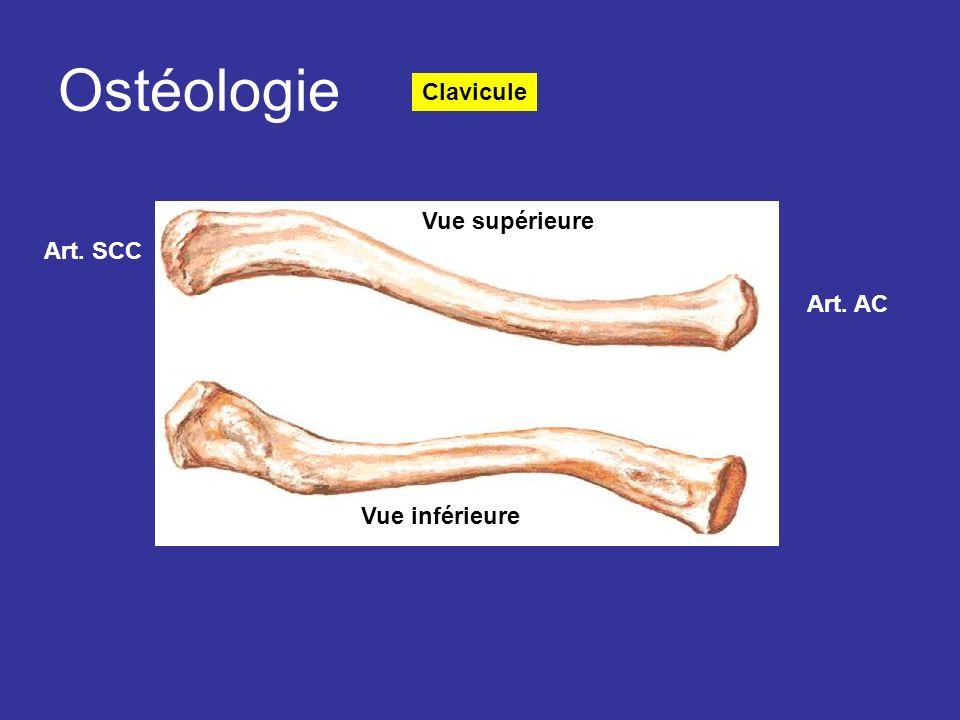 Ostéologie Clavicule Vue supérieure Art. SCC Art. AC Vue inférieure