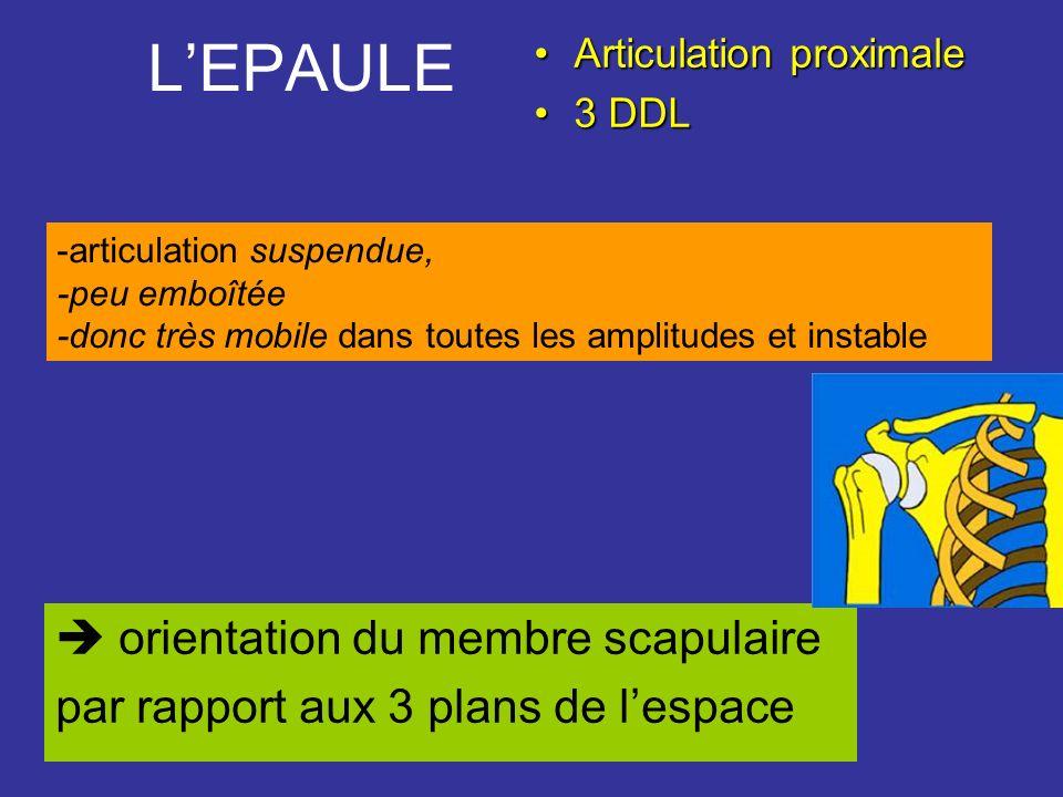 L'EPAULE  orientation du membre scapulaire
