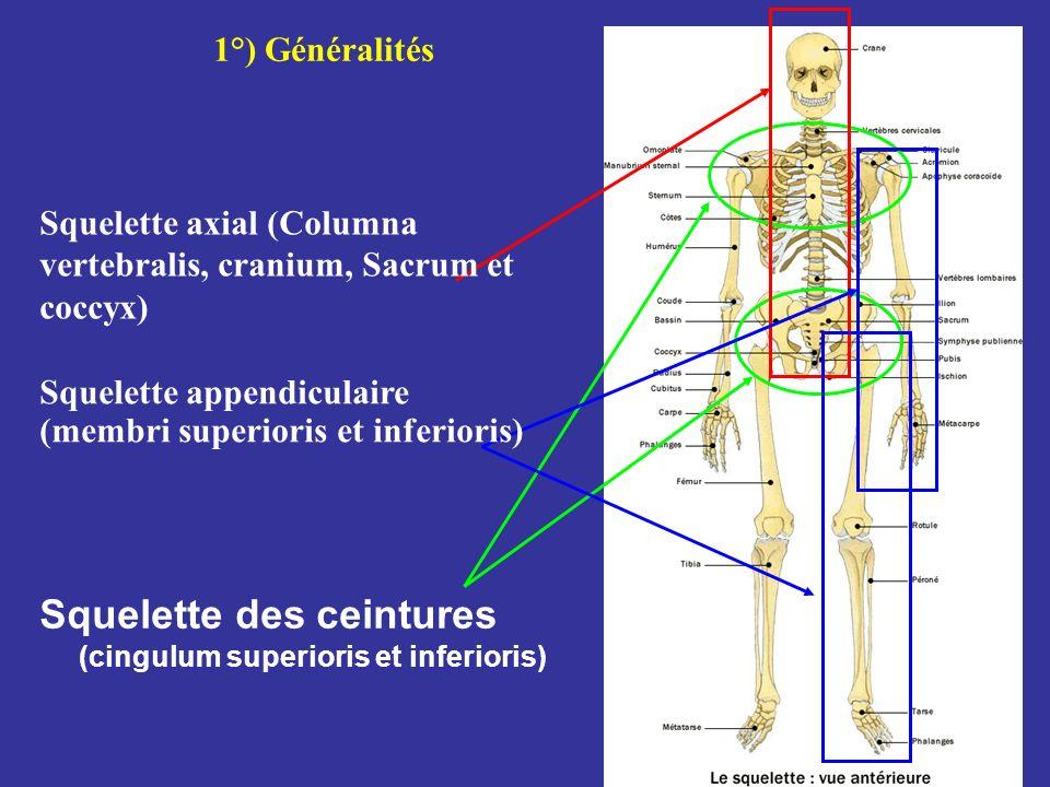 Squelette des ceintures (cingulum superioris et inferioris)