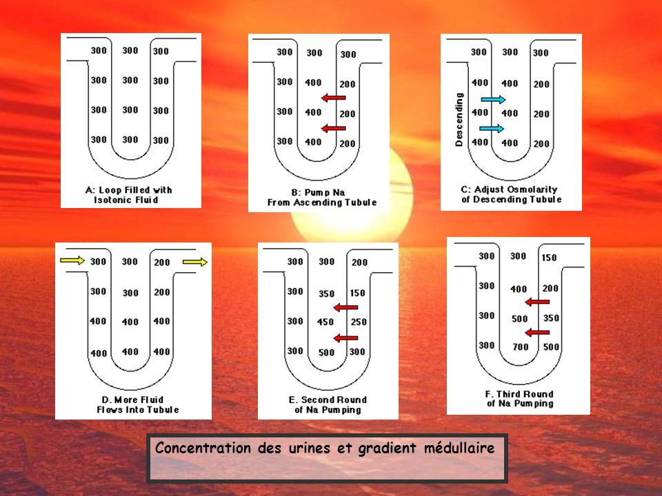 Concentration des urines et gradient médullaire