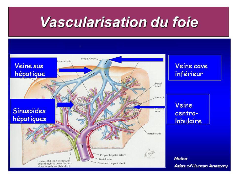 Vascularisation du foie