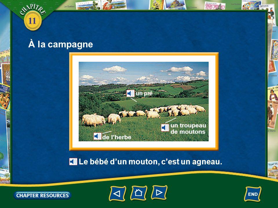À la campagne Le bébé d'un mouton, c'est un agneau. un troupeau
