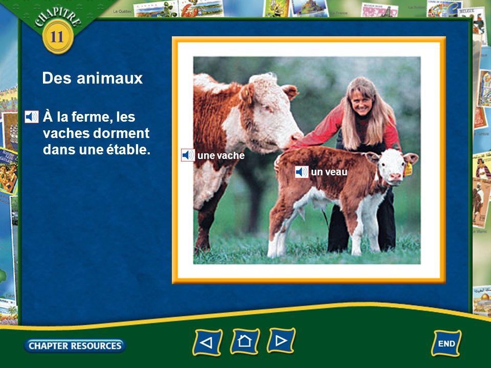 Des animaux À la ferme, les vaches dorment dans une étable. une vache