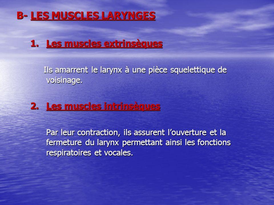 B- LES MUSCLES LARYNGES