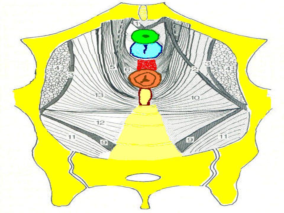 Le fond de l'excavation pelvienne est un entonnoir dont l'orifice de la sortie, décalé vers l'avant, est représenté par la fente uro-génitale; l'obliquité de ce plancher est donc importante.