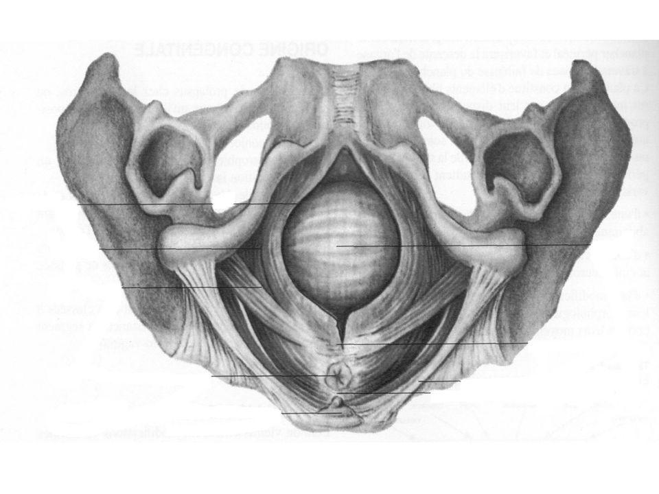 C'est en fait l'accouchement, et en particulier l'expulsion, qui est responsable des dégradations neuro-musculaires périnéales. La présentation refoule le coccyx en arrière, distendant le périnée et le noyau fibreux central. Le pubo-rectal risque de se déchirer au niveau de son point d'ancrage sur le noyau central du périnée). Il se crée alors un élargissement de la filière urogénitale en arrière, avec un véritable diastasis des muscles releveurs. Ces lésions peuvent se rencontrer même en l'absence de déchirure cutanée patente. De toutes façon, l'épisiotomie protège essentiellement le sphincter anal et n'a guère d'effet sur le releveur lui-même, plus haut situé.
