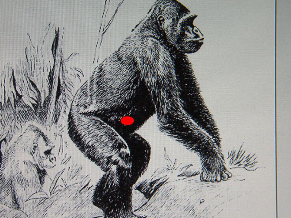 La morphologie du squelette des grands singes anthropomorphes « pongidés » d'Afrique ou d'Asie ( chimpanzé, gorille, orang-outang), dépourvus de queue, présente une certaine ressemblance humaine dans la disposition des pièces qui le constituent ; cependant lorsque l'animal adopte une posture quadrupède, l'os coxal est alors assez proche de l'horizontale comme chez les autres mammifères quadrupèdes. La grande longueur de l'os coxal, sans doute héritée de la locomotion suspendue et l'absence d'une véritable excavation distinguent ce bassin de celui l'homme. La posture et la marche bipède de ces animaux ne sont qu'occasionnelles et la mécanique statique est assez différente de celle de l'homme.
