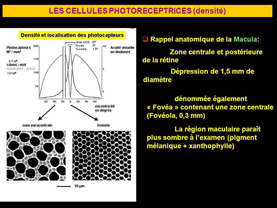 LES CELLULES PHOTORECEPTRICES (densité)