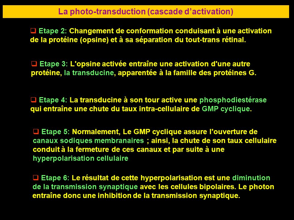 La photo-transduction (cascade d'activation)