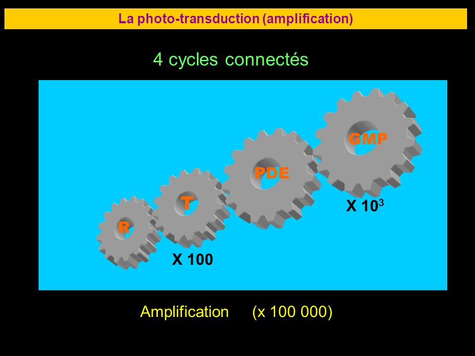 La photo-transduction (amplification)
