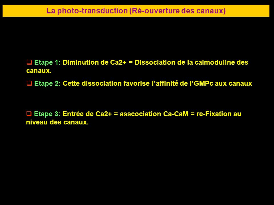 La photo-transduction (Ré-ouverture des canaux)