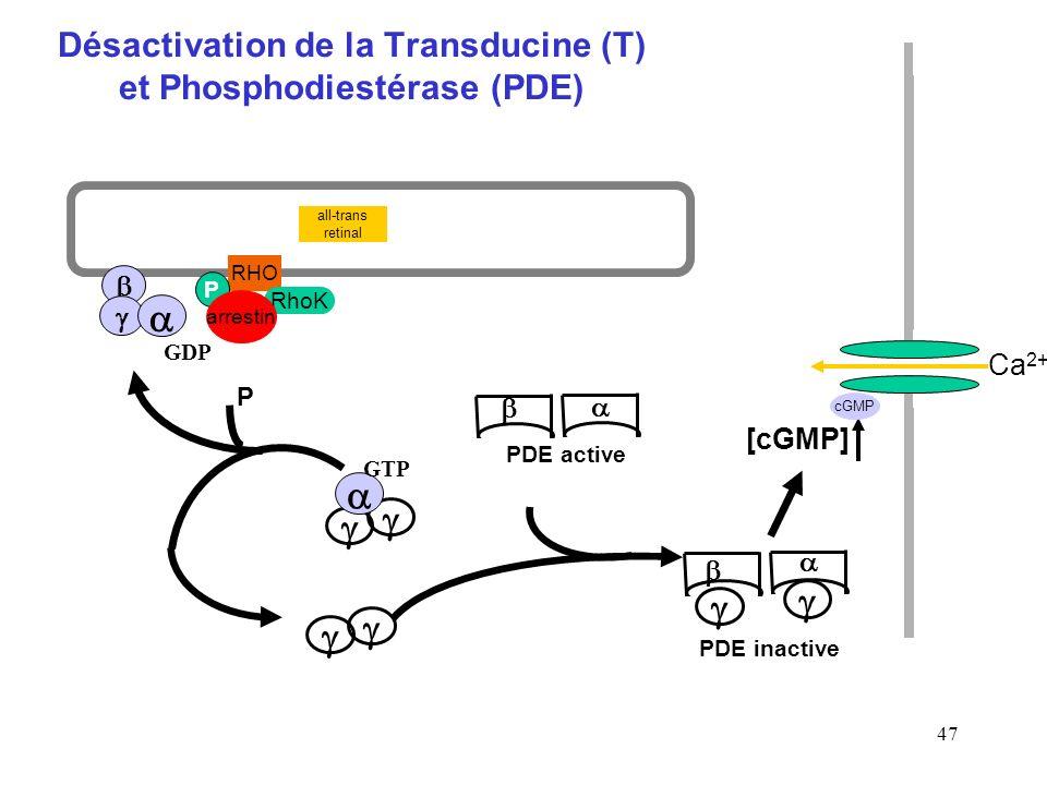 Désactivation de la Transducine (T) et Phosphodiestérase (PDE)
