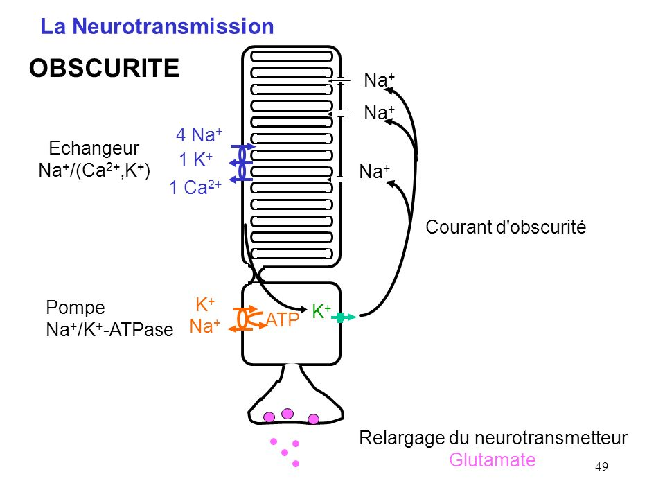 Relargage du neurotransmetteur