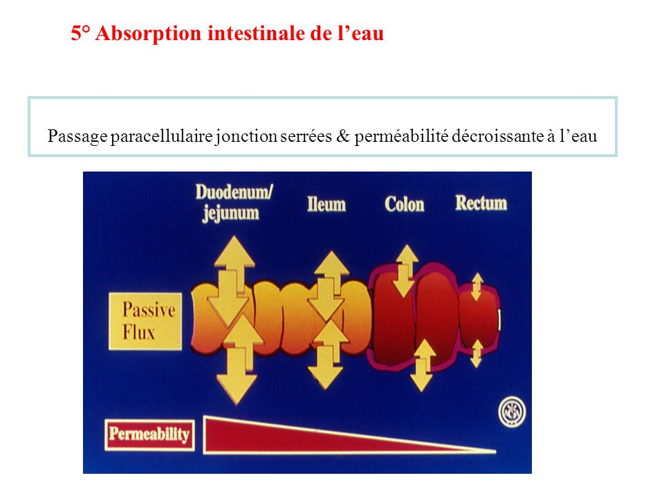 5° Absorption intestinale de l'eau