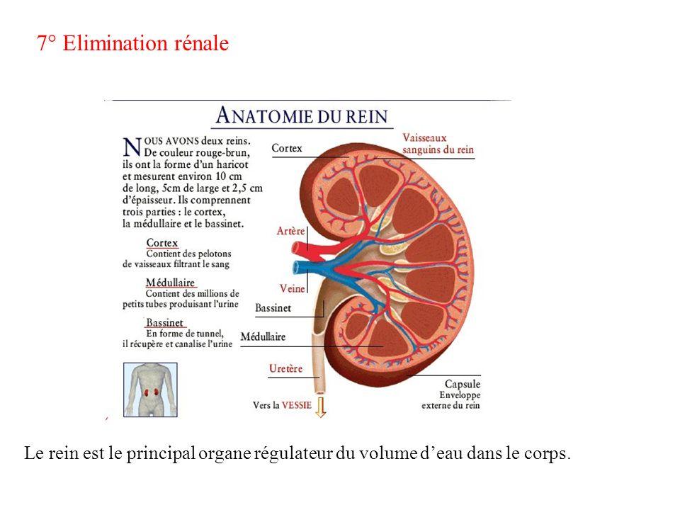 7° Elimination rénale Le rein est le principal organe régulateur du volume d'eau dans le corps.