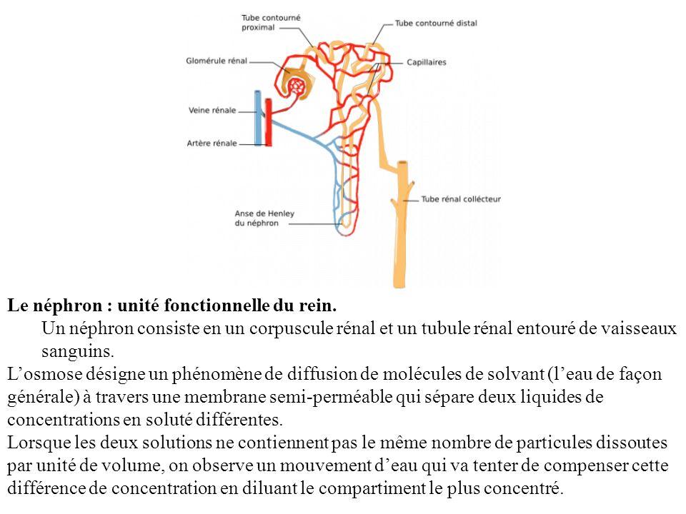 Le néphron : unité fonctionnelle du rein.