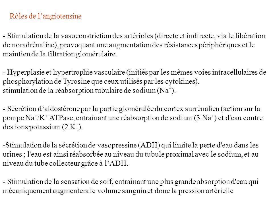 Rôles de l'angiotensine