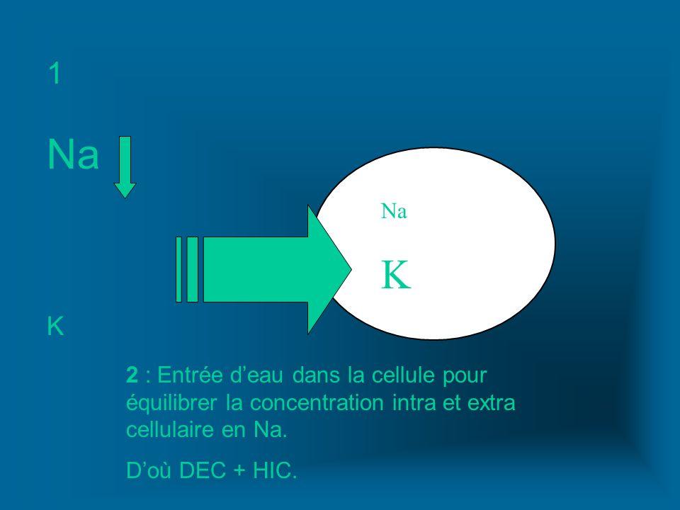 1 Na. K. Na. K. 2 : Entrée d'eau dans la cellule pour équilibrer la concentration intra et extra cellulaire en Na.