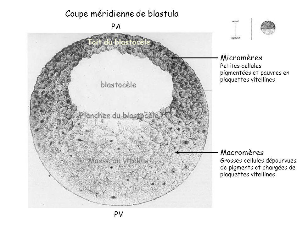 Coupe méridienne de blastula