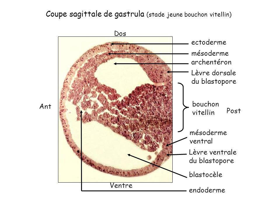 Coupe sagittale de gastrula (stade jeune bouchon vitellin)
