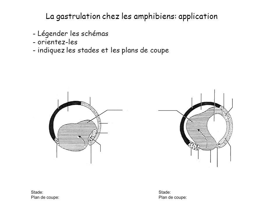La gastrulation chez les amphibiens: application