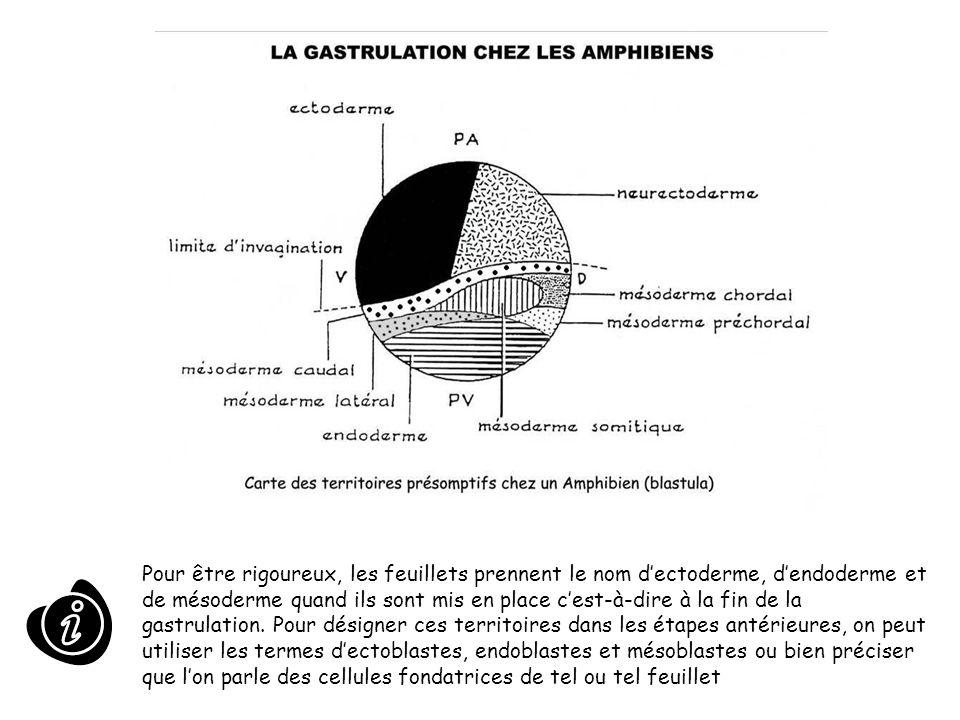 Pour être rigoureux, les feuillets prennent le nom d'ectoderme, d'endoderme et de mésoderme quand ils sont mis en place c'est-à-dire à la fin de la gastrulation.