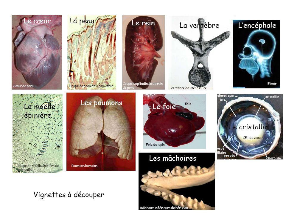 Le cœur La peau Le rein La vertèbre L'encéphale Les poumons Le foie