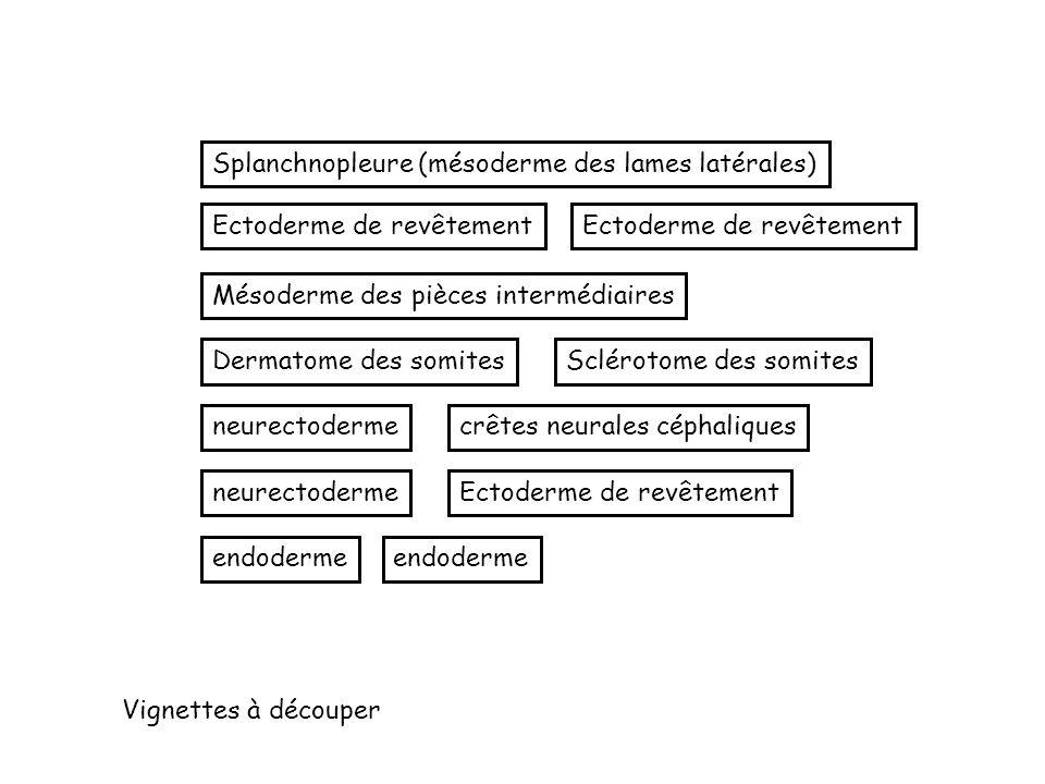 Splanchnopleure (mésoderme des lames latérales)