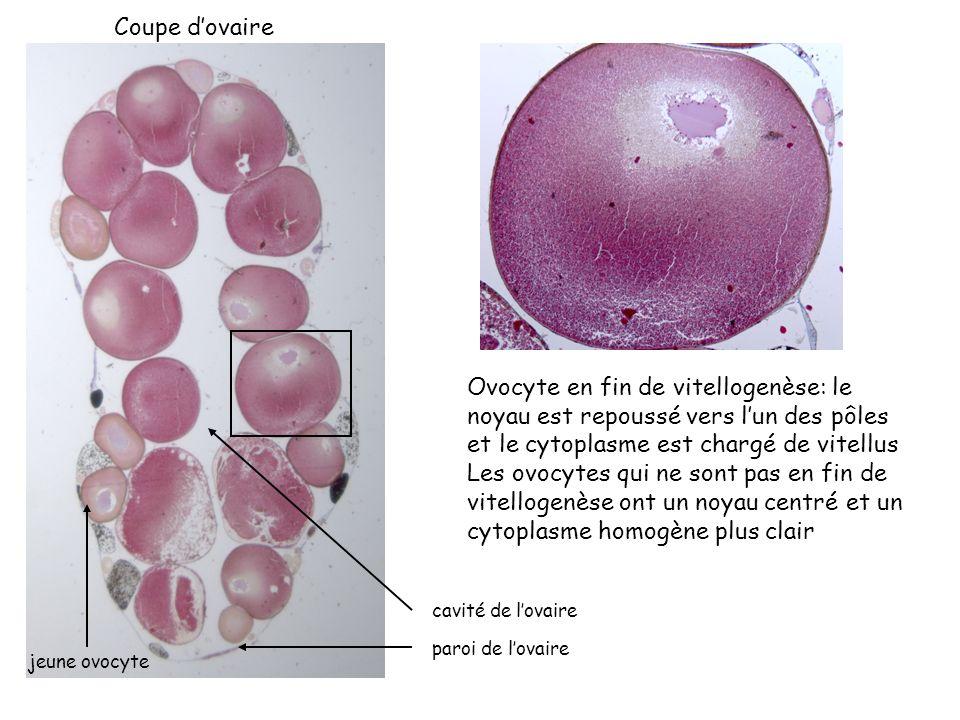 Coupe d'ovaire Ovocyte en fin de vitellogenèse: le noyau est repoussé vers l'un des pôles et le cytoplasme est chargé de vitellus.
