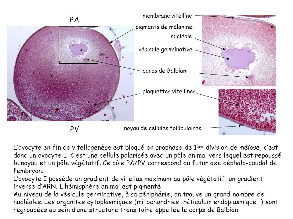 membrane vitelline PA. pigments de mélanine. nucléole. vésicule germinative. corps de Balbiani.