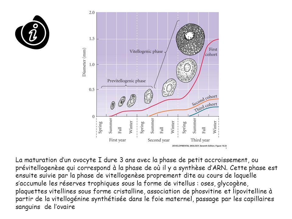 La maturation d'un ovocyte I dure 3 ans avec la phase de petit accroissement, ou prévitellogenèse qui correspond à la phase de où il y a synthèse d'ARN.