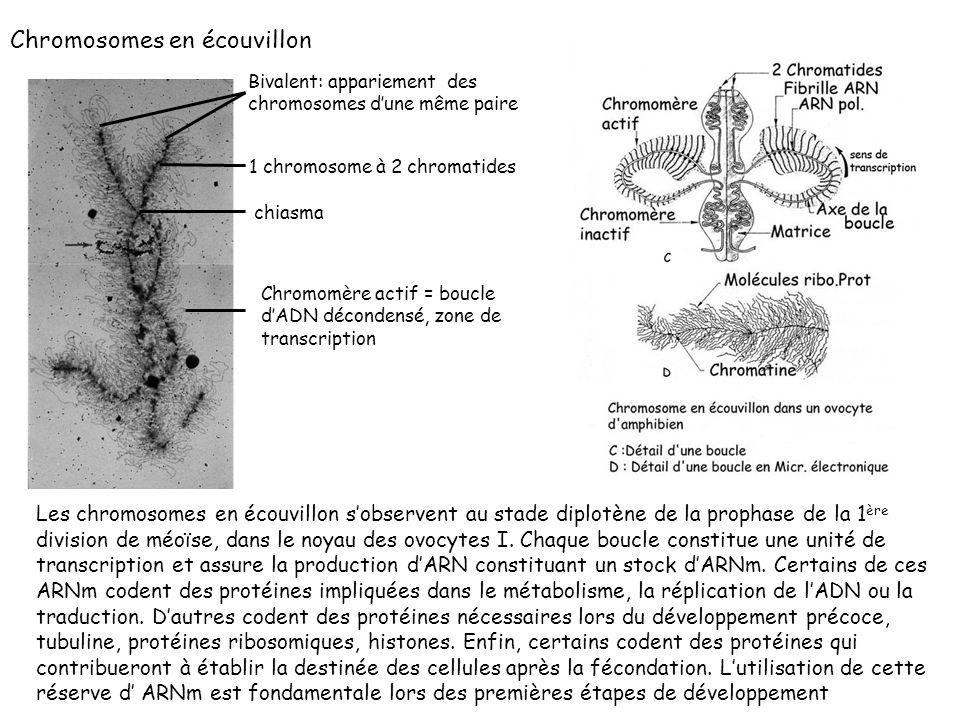 Chromosomes en écouvillon