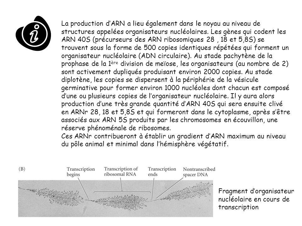 La production d'ARN a lieu également dans le noyau au niveau de structures appelées organisateurs nucléolaires. Les gènes qui codent les ARN 40S (précurseurs des ARN ribosomiques 28 , 18 et 5,8S) se trouvent sous la forme de 500 copies identiques répétées qui forment un organisateur nucléolaire (ADN circulaire). Au stade pachytène de la prophase de la 1ère division de meïose, les organisateurs (au nombre de 2) sont activement dupliqués produisant environ 2000 copies. Au stade diplotène, les copies se dispersent à la périphérie de la vésicule germinative pour former environ 1000 nucléoles dont chacun est composé d'une ou plusieurs copies de l'organisateur nucléolaire. Il y aura alors production d'une très grande quantité d'ARN 40S qui sera ensuite clivé en ARNr 28, 18 et 5,8S et qui formeront dans le cytoplasme, après s'être associés aux ARN 5S produits par les chromosomes en écouvillon, une réserve phénoménale de ribosomes.