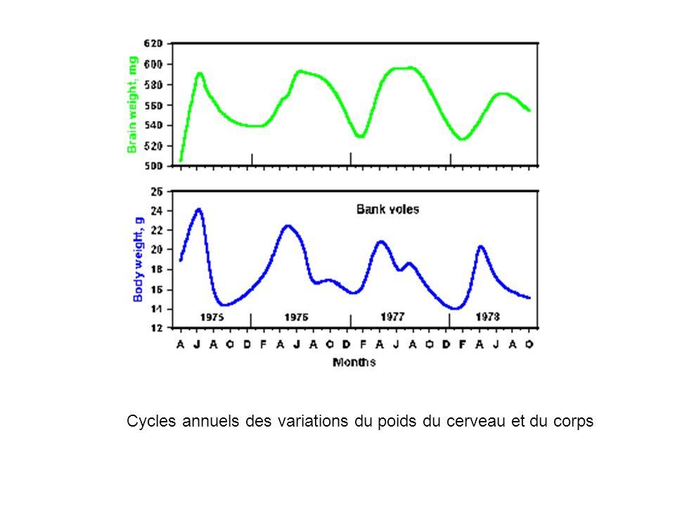 Cycles annuels des variations du poids du cerveau et du corps