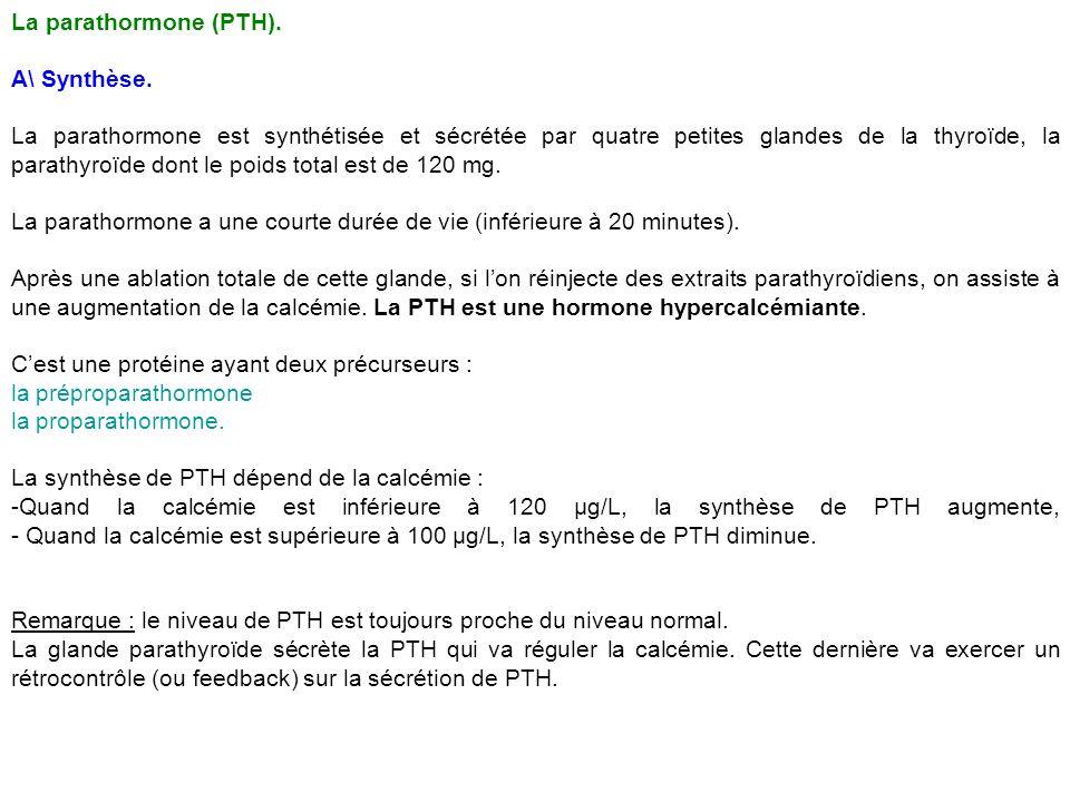 La parathormone (PTH). A\ Synthèse.
