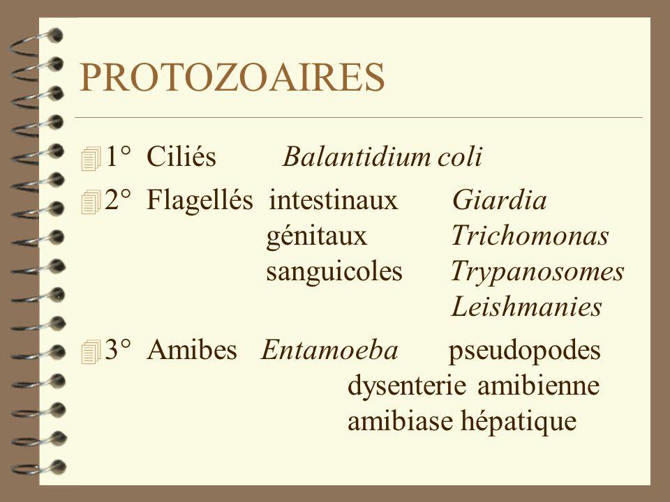 PROTOZOAIRES 1° Ciliés Balantidium coli