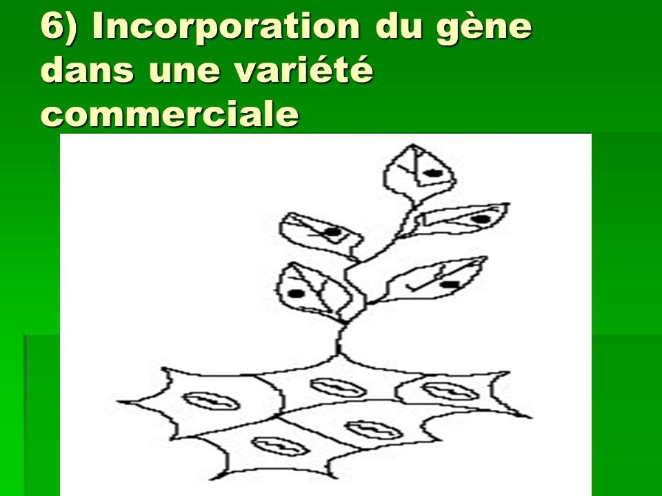 6) Incorporation du gène dans une variété commerciale