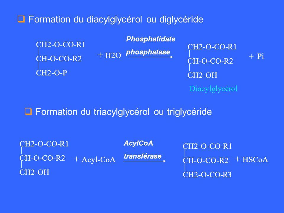 Formation du diacylglycérol ou diglycéride