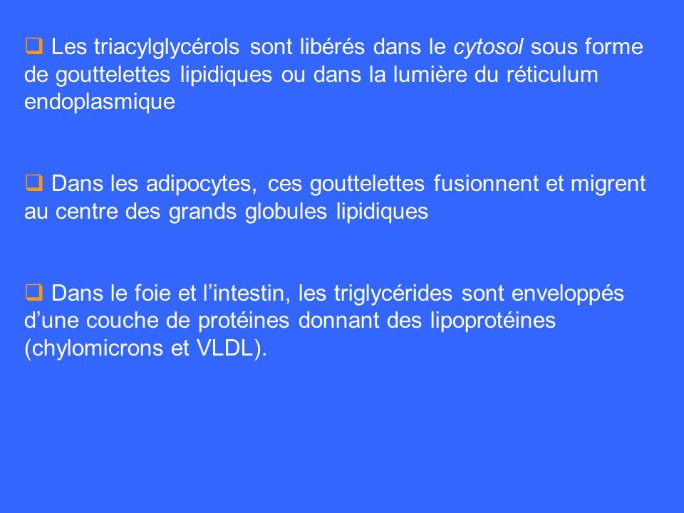 Les triacylglycérols sont libérés dans le cytosol sous forme de gouttelettes lipidiques ou dans la lumière du réticulum endoplasmique