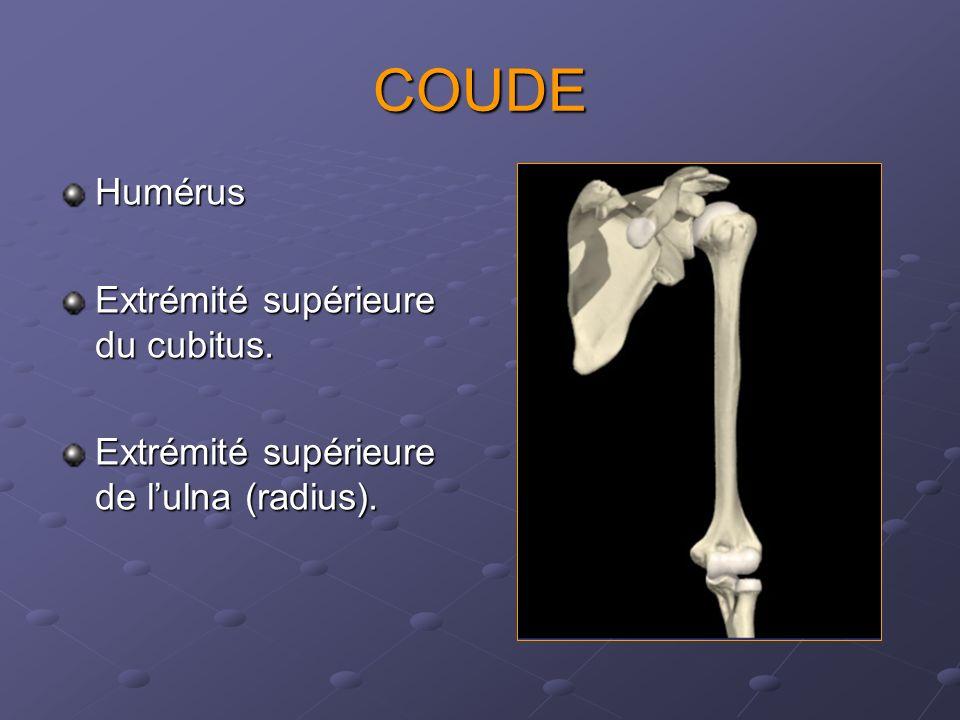 COUDE Humérus Extrémité supérieure du cubitus.