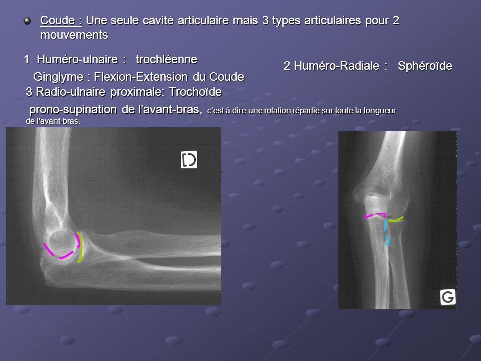 Coude : Une seule cavité articulaire mais 3 types articulaires pour 2 mouvements